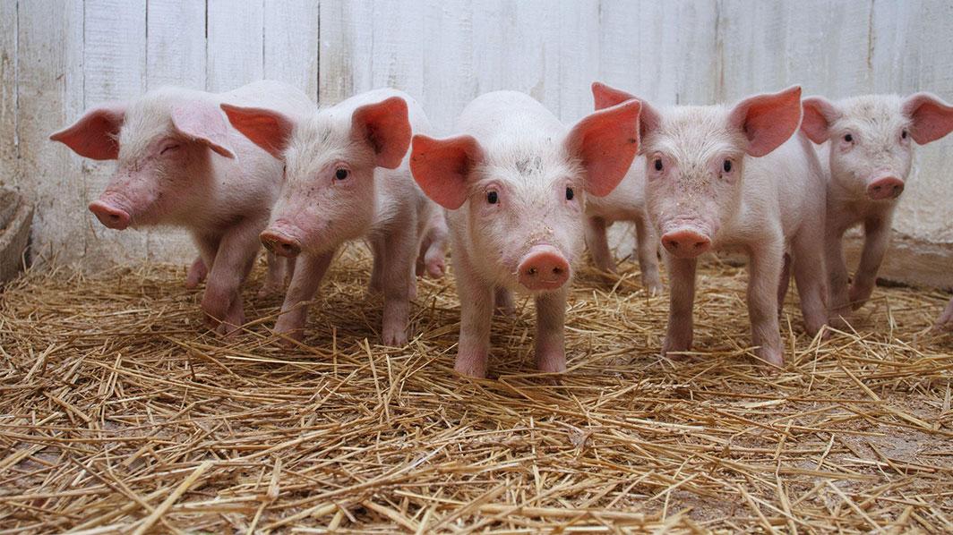 varkens-groot