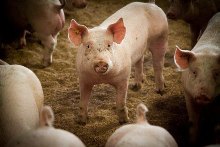 varkens1