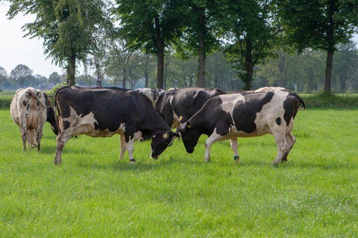 foto spelende koeien