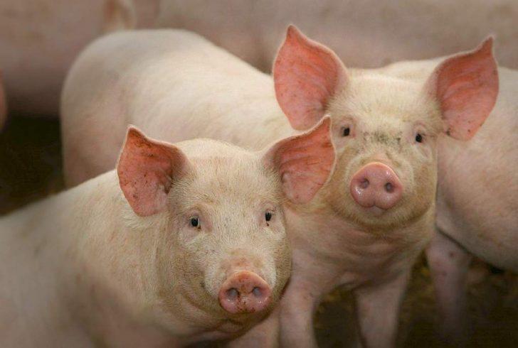 varkens die in de camera kijken