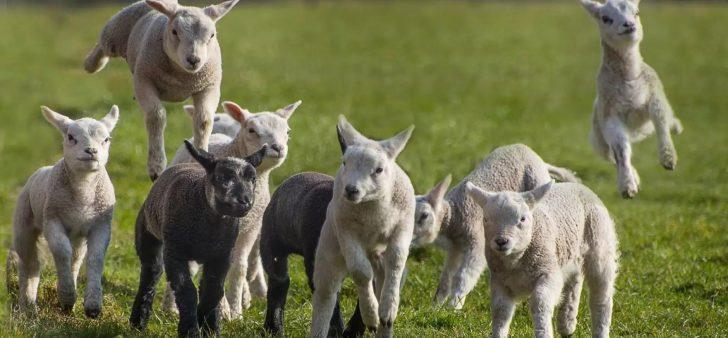 blije jonge lammeren in de weide